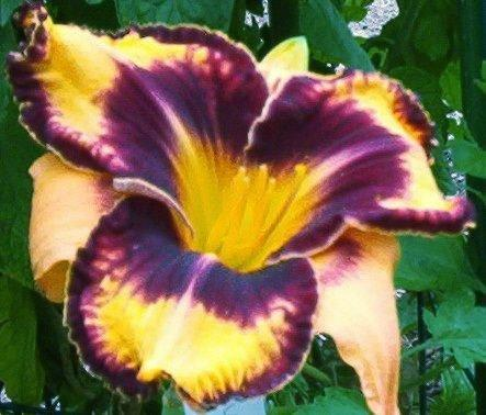 Photo of Daylily (Hemerocallis 'Gavin Petit') uploaded by vic