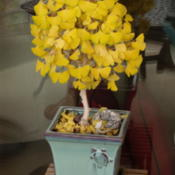 Location: My sister's garden in Bakersfield, CADate: Dec. 2, 2011Fall foliage on Ginkgo bonsai