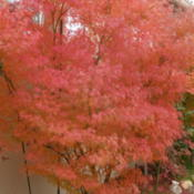 Location: My sister's garden in Bakersfield, CADate: Dec. 2, 2011Incredible fall foliage color for Bakersfield!