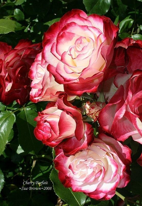 Photo of Rose (Rosa 'Cherry Parfait') uploaded by Calif_Sue
