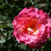 Location: San Jose Municipal Rose GardenDate: 2008-05-13