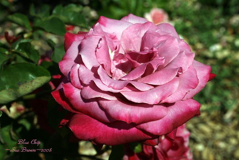 Photo of Rose (Rosa 'Blue Chip') uploaded by Calif_Sue