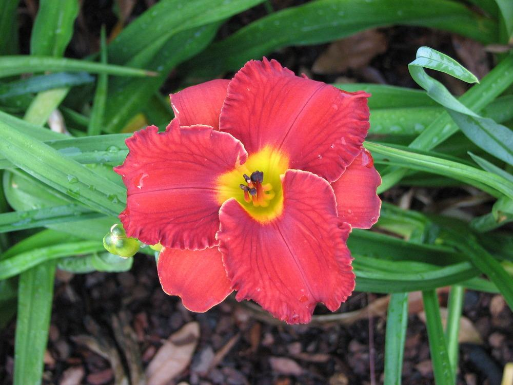 Photo of Daylily (Hemerocallis 'Cupid Calling') uploaded by tink3472