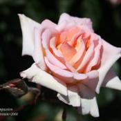 Location: San Jose Heritage Rose GardenDate: 2008-05-13