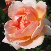 Location: San Jose Heritage Rose GardenDate: 2007-05-10