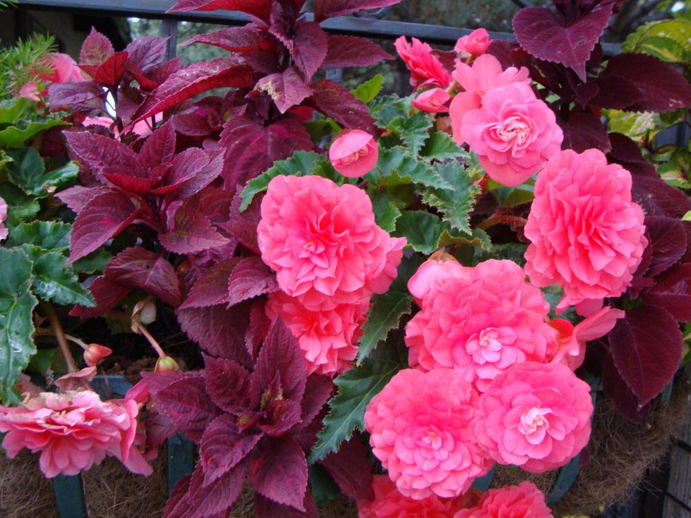Photo of Hybrid Tuberous Begonia (Begonia x tuberhybrida) uploaded by Paul2032