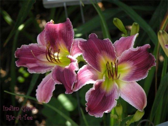 Photo of Daylily (Hemerocallis 'Indian Giver') uploaded by vic