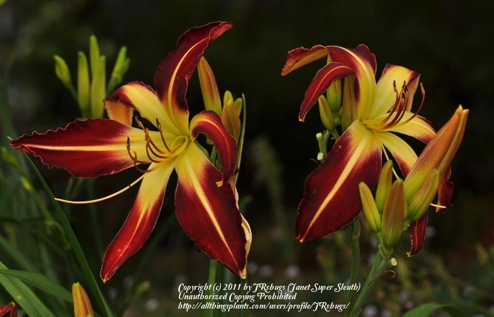 Photo of Daylily (Hemerocallis 'Thin Man') uploaded by JRsbugs