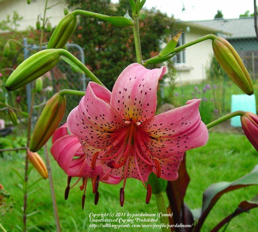 Photo of Lily (Lilium 'Iowa Rose') uploaded by pardalinum
