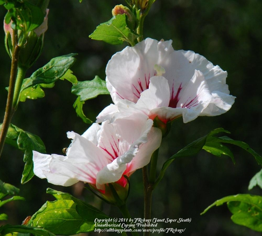 Photo Of The Bloom Of Rose Of Sharon Hibiscus Syriacus Red Heart