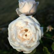 Location: San Jose Heritage Rose GardenDate: 2007-11-29