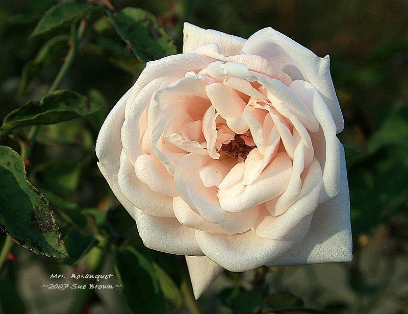 Photo of Rose (Rosa 'Mistress Bosanquet') uploaded by Calif_Sue