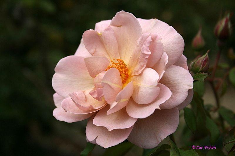 Photo of Rose (Rosa 'Lavender Pinocchio') uploaded by Calif_Sue