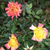 Location: San Jose Heritage Rose GardenDate: 2007-11-26