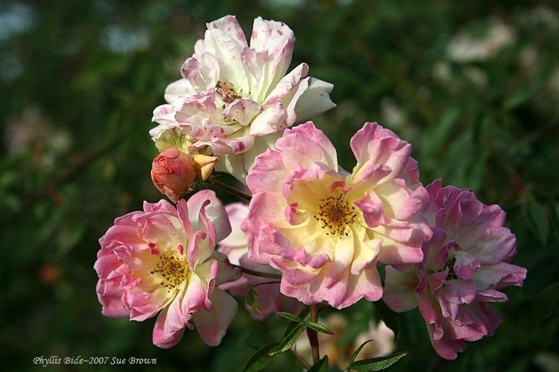 Photo of Rose (Rosa 'Phyllis Bide') uploaded by Calif_Sue