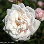 Location: San Jose Heritage Rose GardenDate: 2007-11-12
