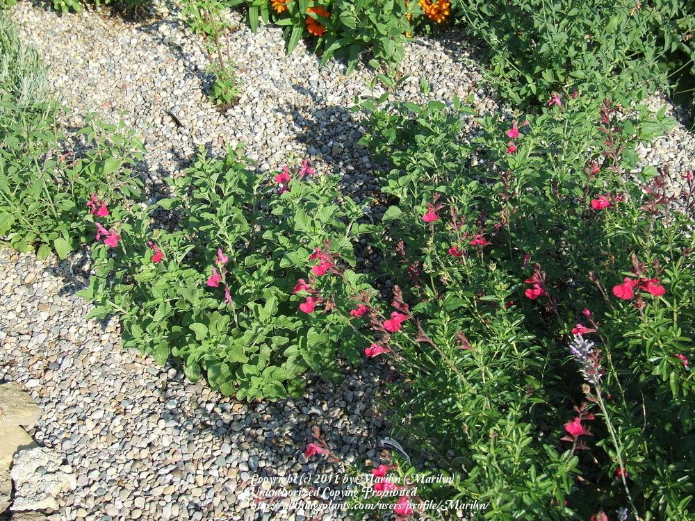 Photo of Salvias (Salvia) uploaded by Marilyn