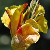 Location: Phoenix, AZDate: 2011-06-11This canna has lots of repeat blooms over weeks time.