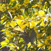 Location: Medina Co., TexasDate: March 2011Carolina Jessamine with butterflies