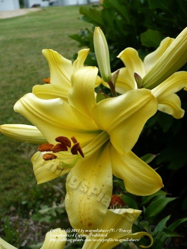 Photo of Lily (Lilium 'High Stakes') uploaded by magnolialover