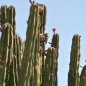 Location: Phoenix, AZDate: 2011-04-27This Organ Pipe was damaged by hail in the Oct. 5, 2010