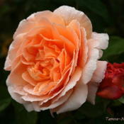 Location: San Jose Heritage Rose GardenDate: 2007-10-29
