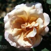 Location: San Jose Heritage Rose GardenDate: 2008-05-31
