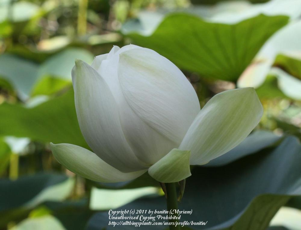 Photo of Sacred Lotus (Nelumbo nucifera) uploaded by bonitin