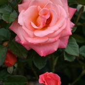 Location: San Jose Heritage Rose GardenDate: 2007-10-11