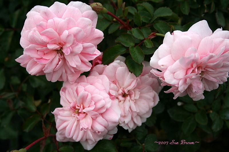 Photo of Rose (Rosa 'Bonica') uploaded by Calif_Sue