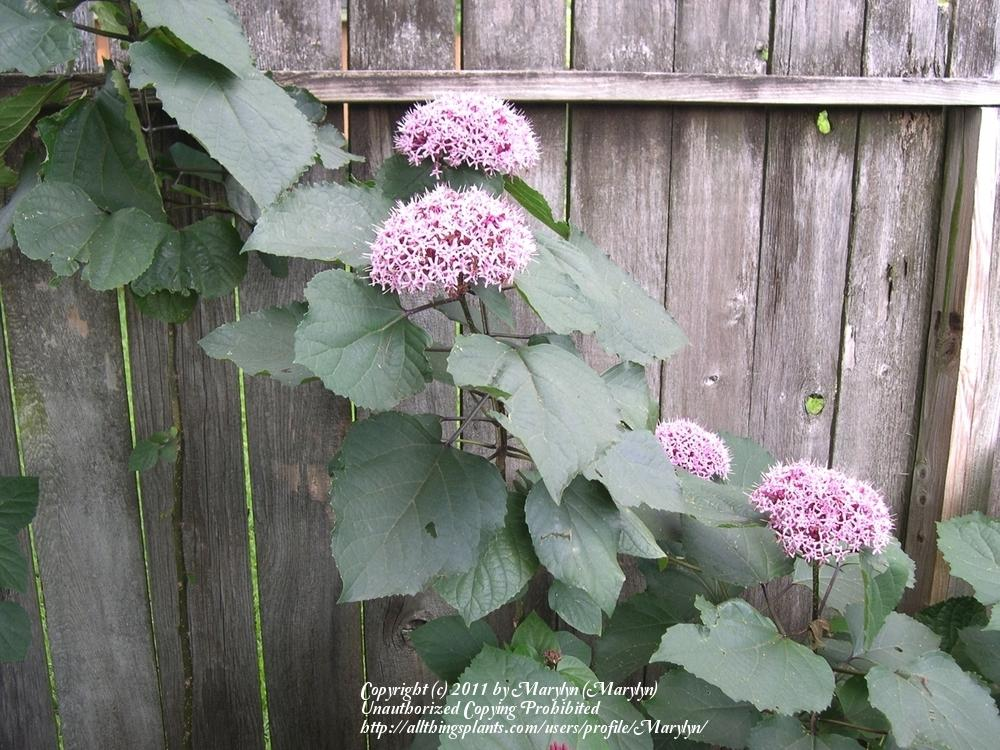 Photo of the entire plant of Cashmere Bouquet (Clerodendrum bungei ...