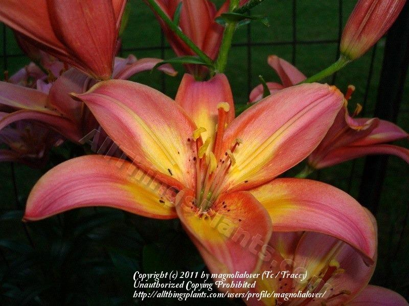 Photo of Lily (Lilium 'Jacqueline') uploaded by magnolialover