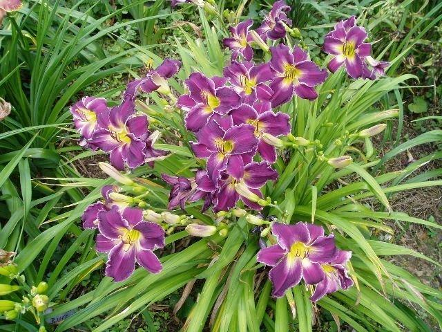 Photo of Daylily (Hemerocallis 'Lord of Rings') uploaded by vic