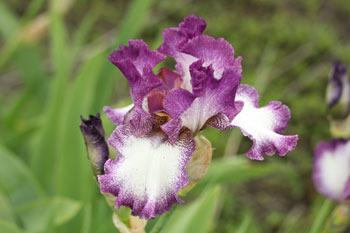 Photo of Tall Bearded Iris (Iris 'Mariposa Autumn') uploaded by Calif_Sue