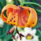 Location: Our Perennial GardensDate: Photo June 2009Turk's Cap Lily