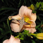 Location: central IllinoisDate: 2010-06-24w/ Hummingbird Moth