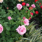 Location: In my garden, Pleasant Grove, UtahDate: 2009-06-05A lovely fragrant garen rose