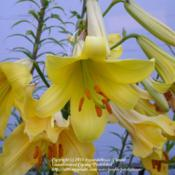 Location: Willamette Valley OregonDate: Summer 2009A nice tetraploid yellow trumpet lily grown from seed.