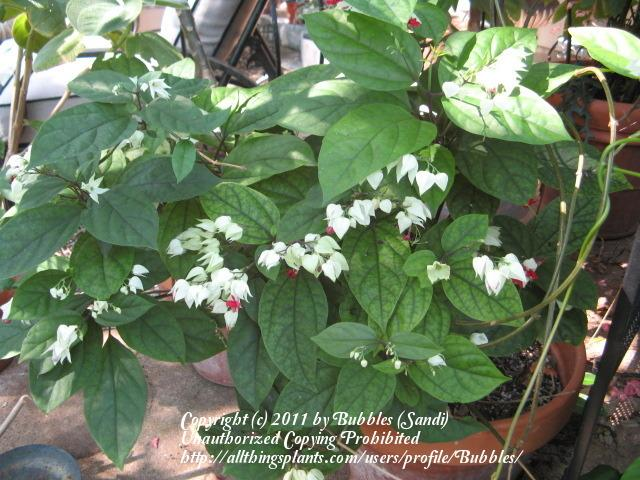 Photo of Bleeding Heart (Clerodendrum thomsoniae) uploaded by Bubbles