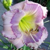 "Location: Fort Worth TXDate: 2010-06-04Daylily ""Blue Beat\"""