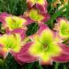 "Daylily ""Electric Mist\"""