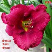 "Location: Fort Worth TXDate: 2010-05-16Daylily (""Santa's Little Helper\"")"