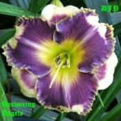 "Location: Fort Worth TXDate: 2009-05-25Daylily ""Answering Angels\"""