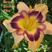 "Location: Fort Worth TXDate: 2009-06-18Daylily ""Texas Painted Eyes\"""