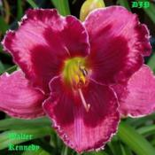 "Location: Fort Worth TXDate: 2010-05-20Daylily (Hemerocallis ""Walter Kennedy\"")"