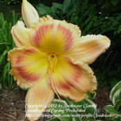 One of first and still favorite daylilies, tall and in your face!