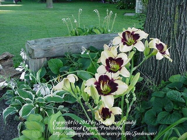 Photo of Daylily (Hemerocallis 'Blackthorne') uploaded by Seedsower