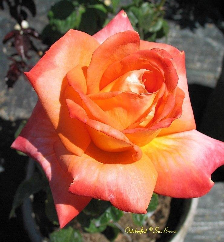 Photo of Rose (Rosa 'Octoberfest') uploaded by Calif_Sue