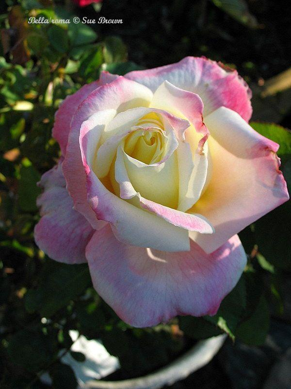 Photo of Rose (Rosa 'Bella'roma') uploaded by Calif_Sue