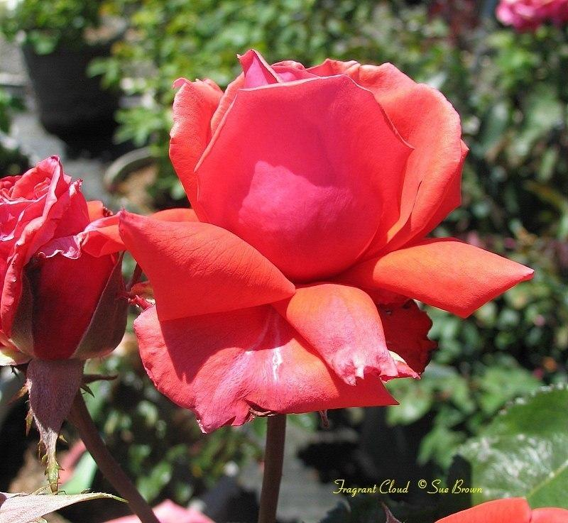 Photo of Rose (Rosa 'Fragrant Cloud') uploaded by Calif_Sue